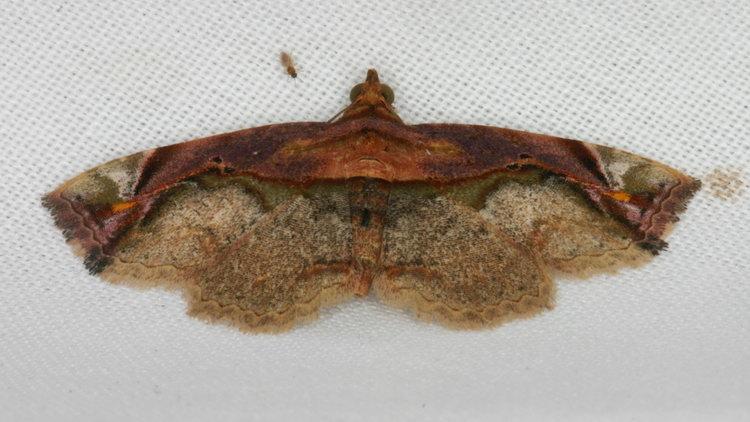 Eugnathia pulcherrima