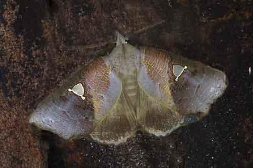 Pterogonia sp