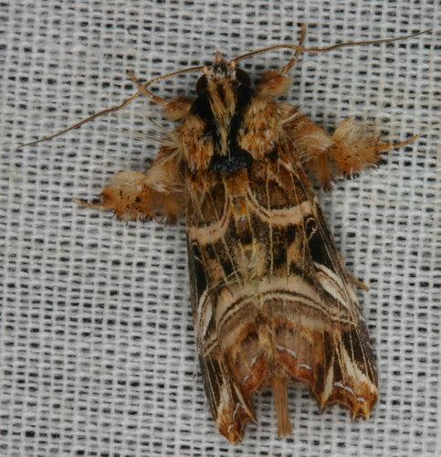 Spodoptera litura 10