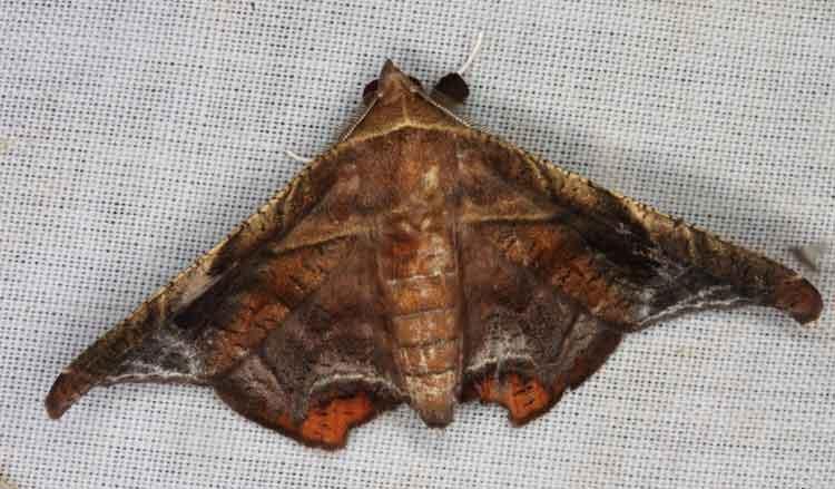 Calpinae Episparis tortuosa