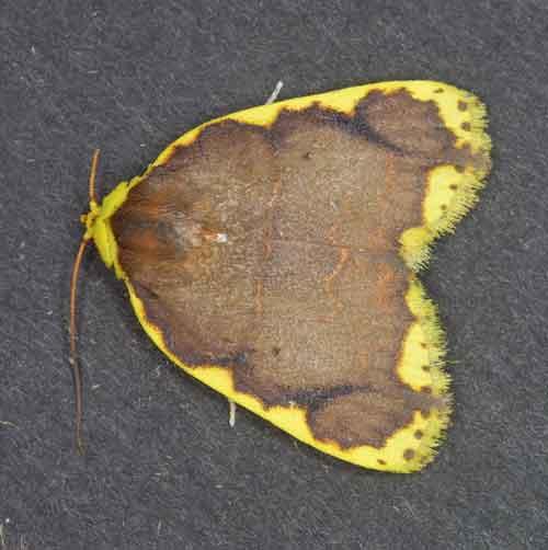 Chandica quadripennis