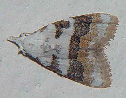 Nola taeniata or lucidalis