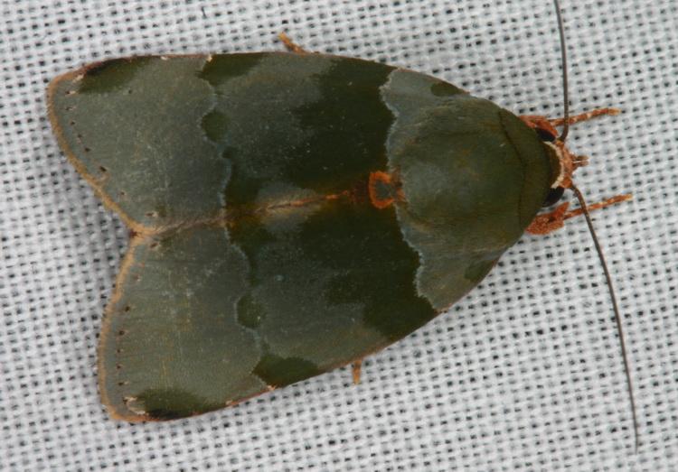 Chloephorinae sp-1