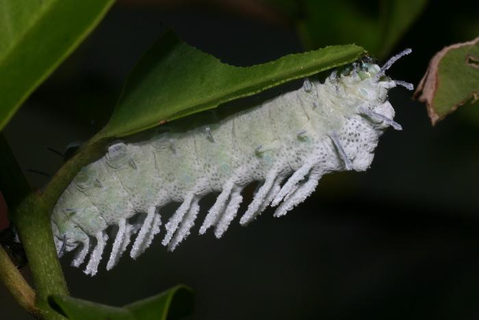 Attacus atlas larva