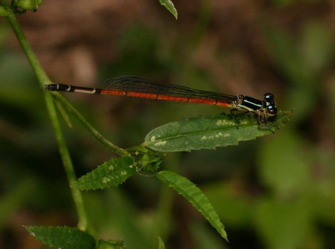 Coenagrionidae Argiocnemis rubescens rubeola female