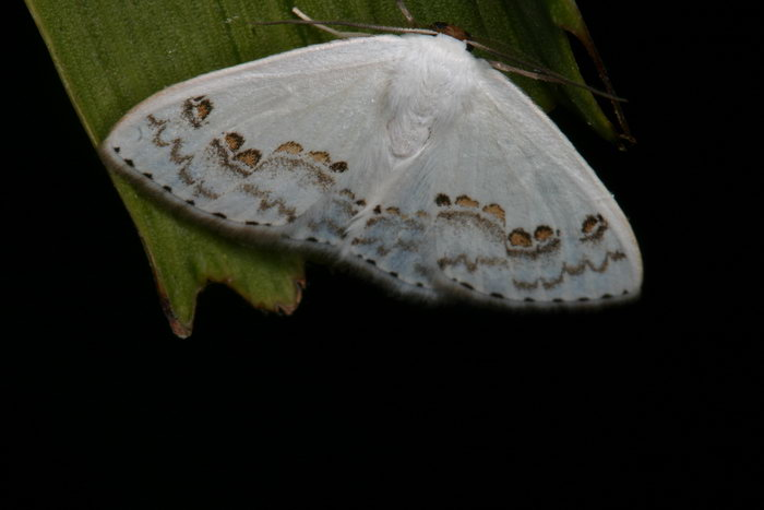 Drepanidae  Teldenia specca