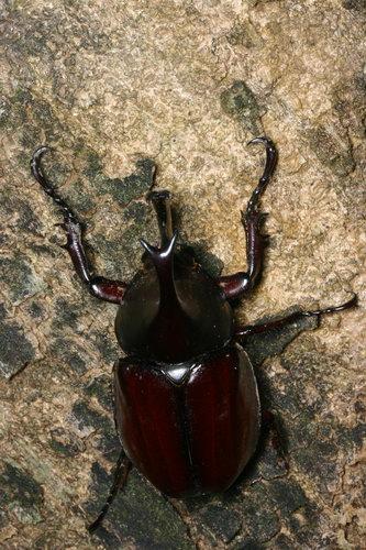 Dynastinae Xylotrupes gideon