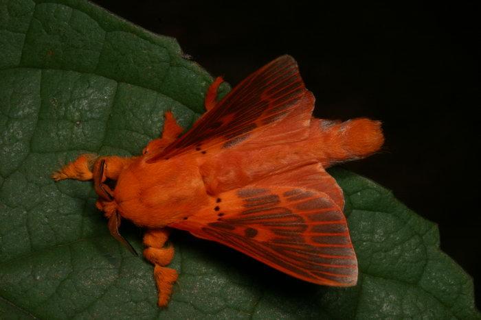 Lasiocampidae Alompra roepke