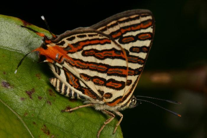 Lycaenidae Spindasis vulcanus