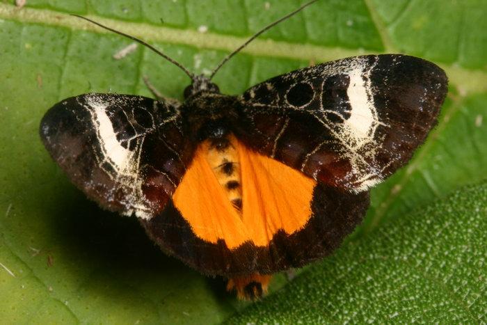 Noctuidae Agaristinae Sarbanissa transiens