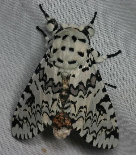 Notodontidae Paracerura priapus IMG_8767