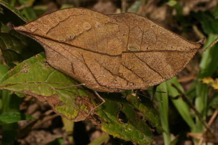Nymphalidae Kallima inachus 1