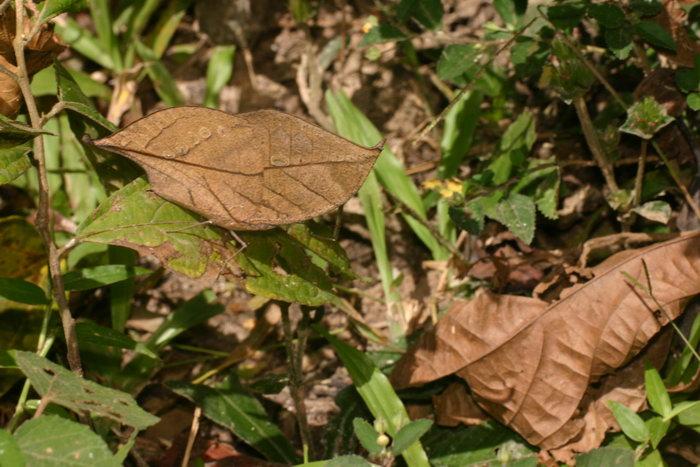 Nymphalidae Kallima inachus