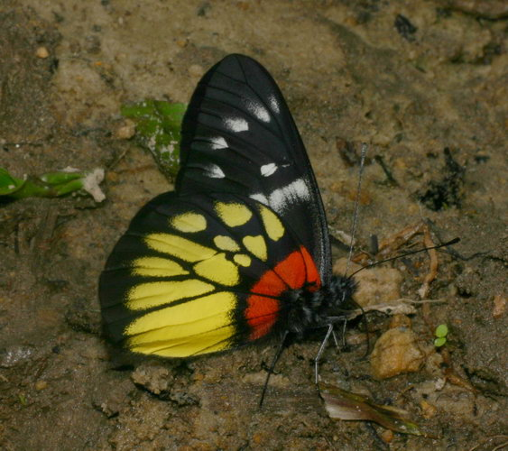 Pieridae Delias pasithoe