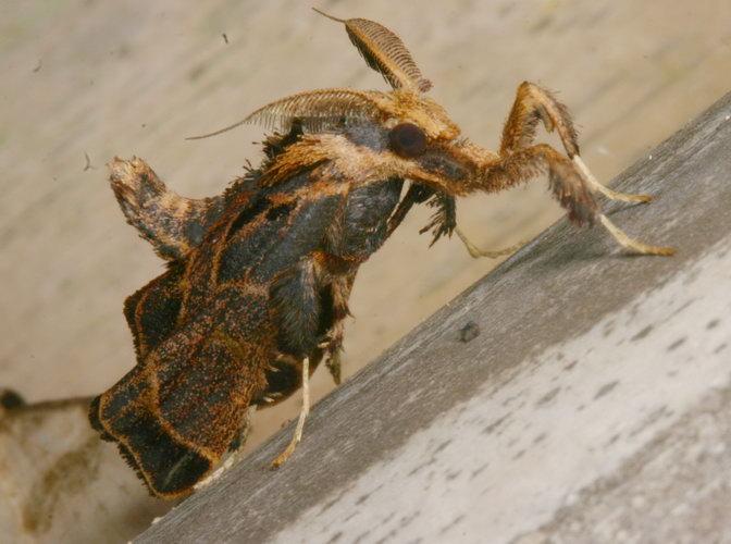 Pyralidae Sacada sp.