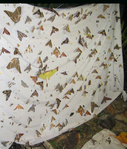 moths attracted to the lights at the Punjen Hideaway