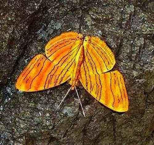 Chersonesia intermedia