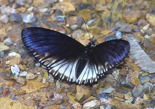 Euripus nyctelius (female mimetic form)