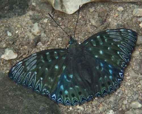 Dichorragia nesimachus