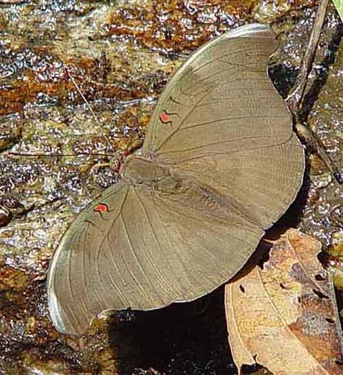 Euthalia evelina