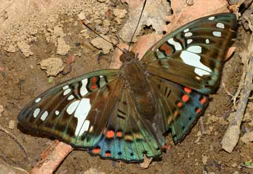 Euthalia malaccana