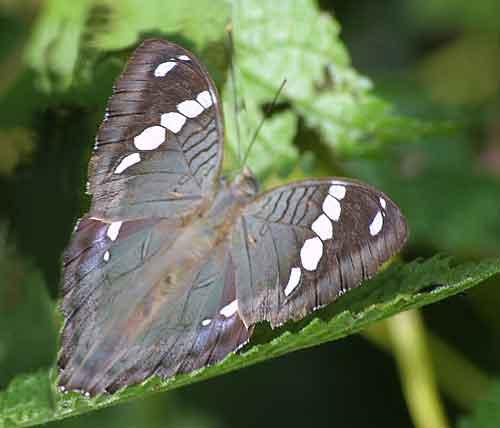 Euthalia narayana