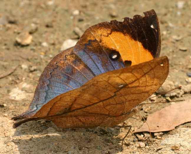 Kallima-inachus-4