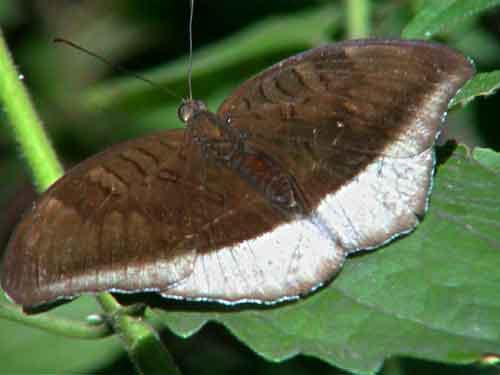 Tanaecia lepidaea
