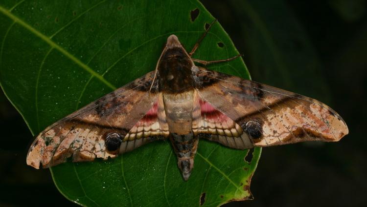 Amplypterus panopus f Sphingidae smerinthina