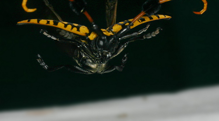 Aristobia approximator in flight
