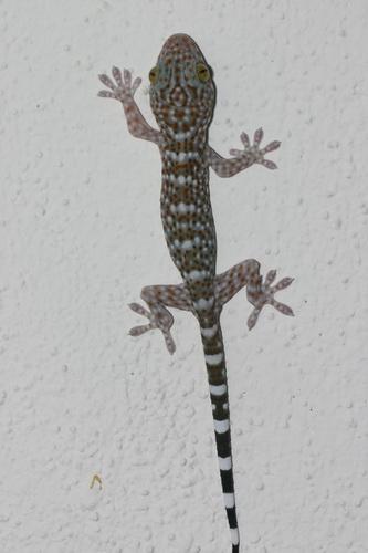 juvenile Gecko gecko