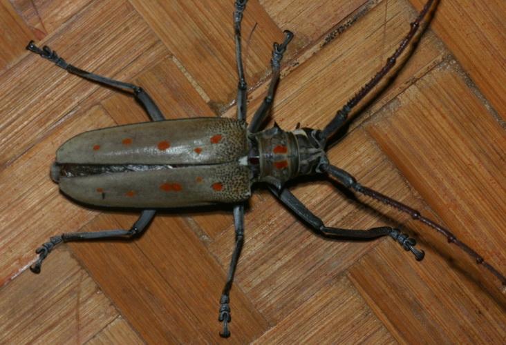 Lamiinae Batocera parryi