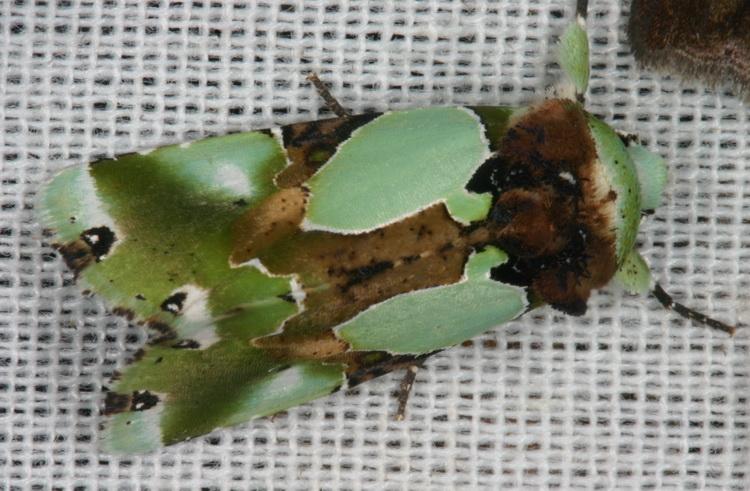 Nacna malachitis Noctuidae Acronictinae