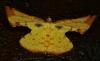 Corymica spatiosa Geometridae Ennominae