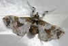 Leucinodes probably orbonalis Crambidae Spilomelinae