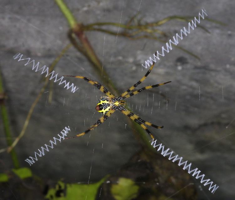 Argiope aemula (St Andrew\'s cross spider)