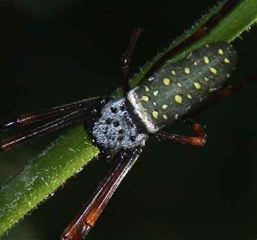 Nephila antipodiana