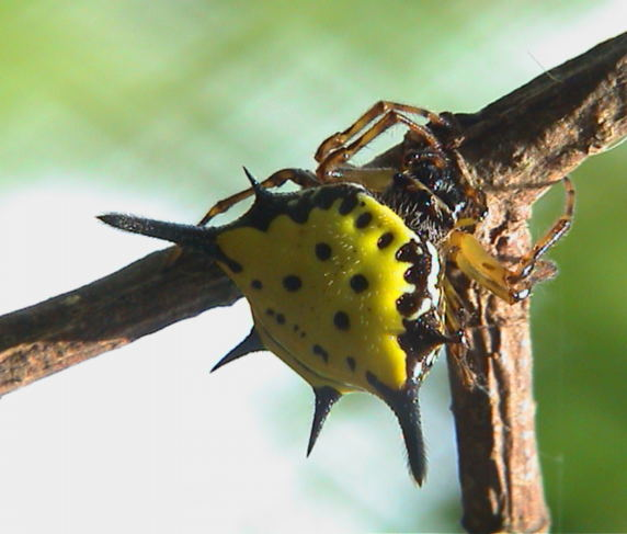 Gasteracantha hasselti or similar1