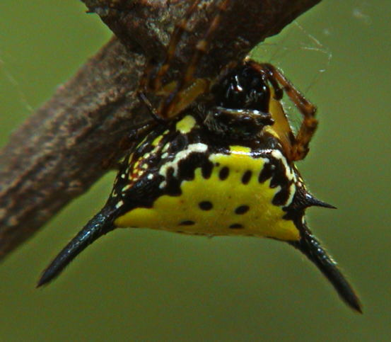 Gasteracantha hasselti or similar2