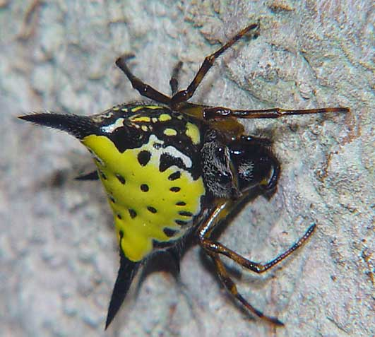 Gasteracantha hasselti or similar 4