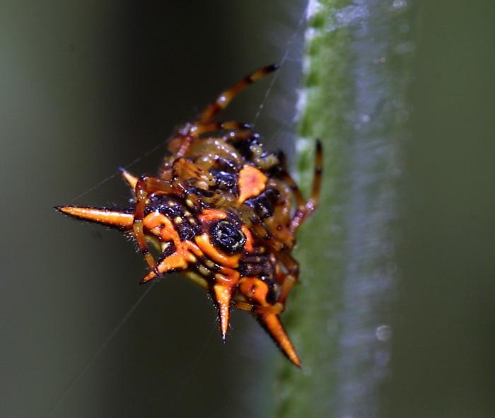 Gasteracantha sp 12