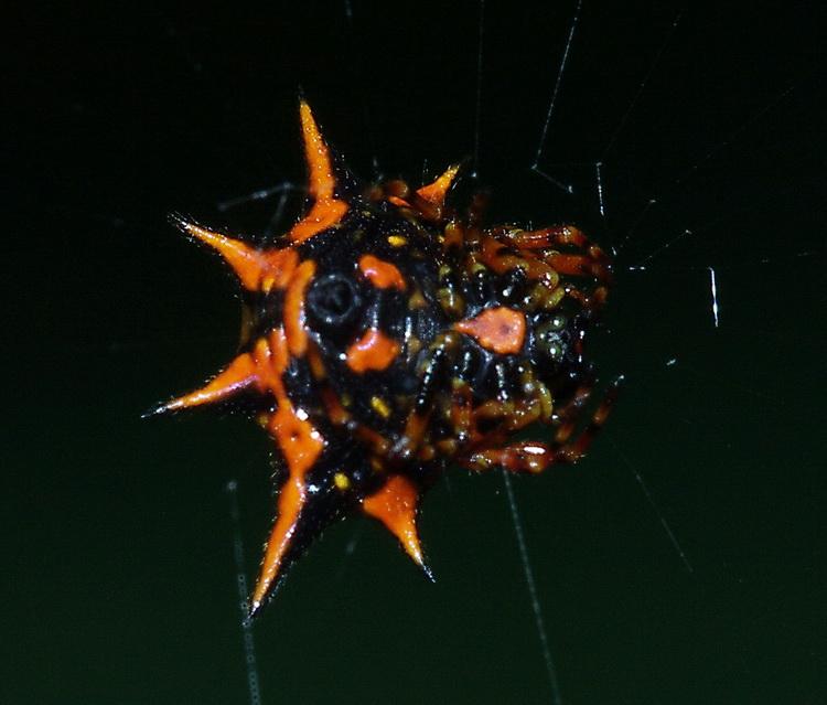Gasteracantha sp.