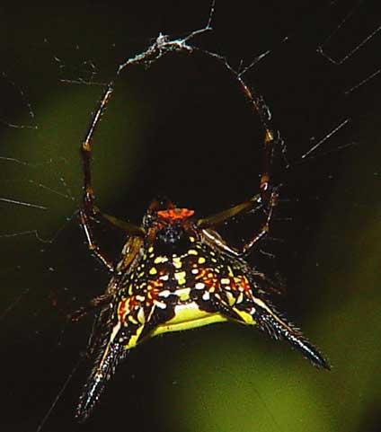 Gasteracantha sp 5