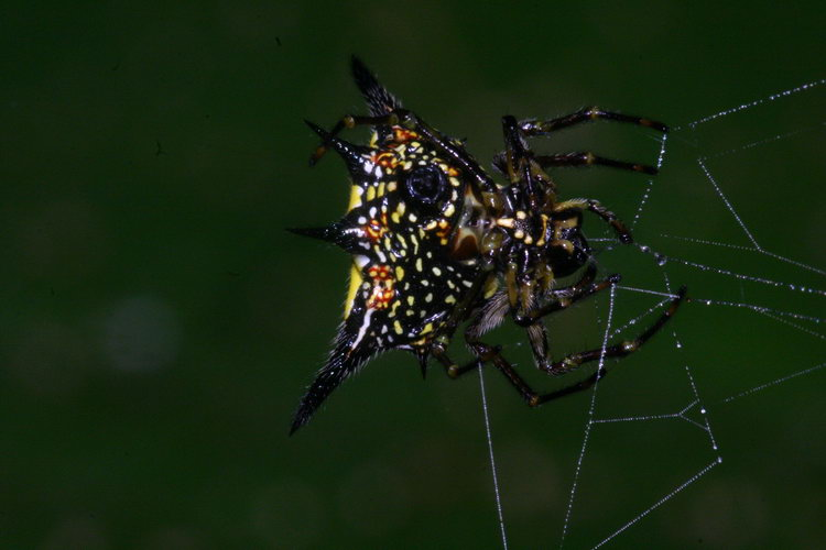 Gasteracantha hasseltii