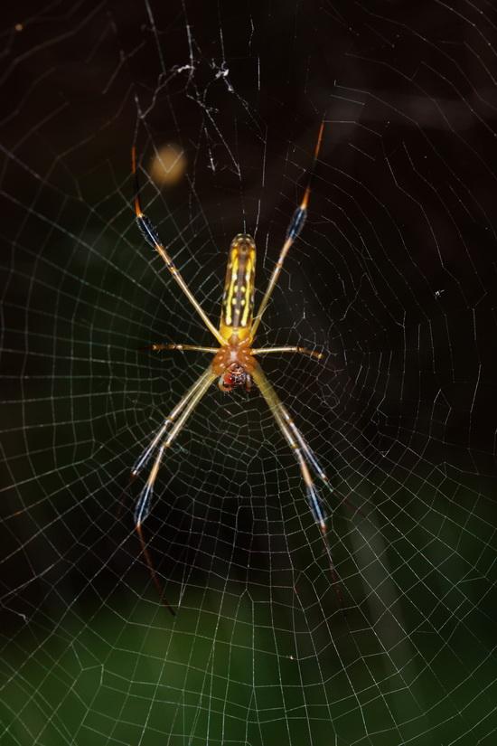 Orb-web spider Nephila sp