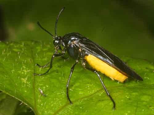 Argidae (sawfly)