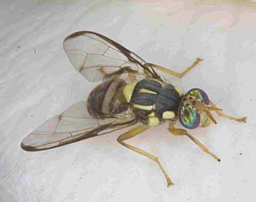 Bactrocera (Zeugodacus) sp