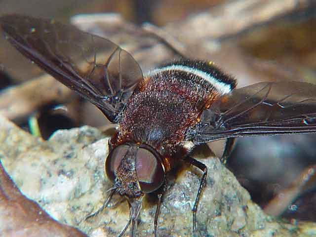 Bombyliidae (bee fly)