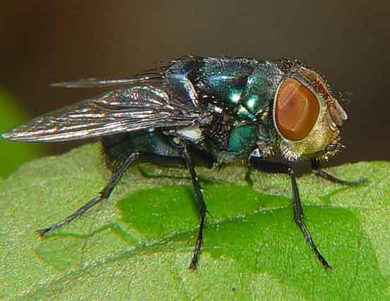 Callaphoridae or Muscidae