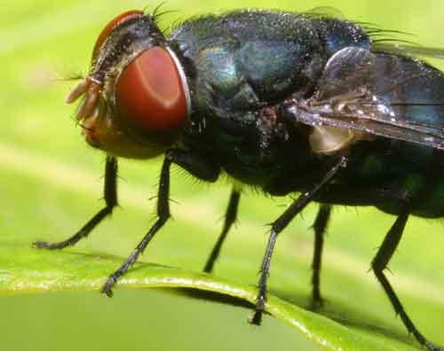 Calliphoridae (blow fly) 2